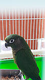 Попугай Пиррура, фото 3