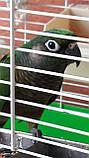 Попугай Пиррура, фото 4