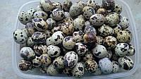 Яйца перепелинные пищевые оптом свыше 1000 шт.