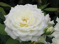 Саженцы роз группы флорибунда 'Алабастер'