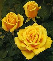 Саженцы чайно-гибридных роз 'Керио'