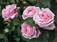 Саженцы кустовых роз 'Дитер Мюллер'