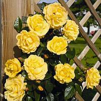 Саженцы плетистых роз 'Дукат'