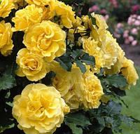 Саженцы плетистых роз 'Голдштерн'