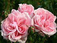 Саженцы роз группы  флорибунда 'Хоум энд Гарден'