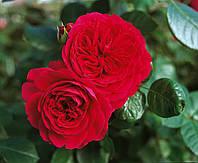 Саженцы роз группы флорибунда  'Ред Леонардо Да Винчи'