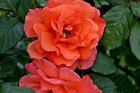 Саженцы плетистых роз 'Вестерлэнд'