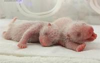 В Китае на свет появились три детеныша панды