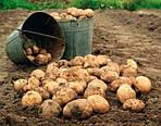Уборка картофеля с помощью мини сельхозтехники: мотоблоком, мототрактором, мини-трактором.