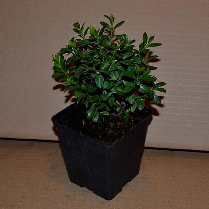 Саженцы - Самшит вечнозеленый, ЗКС в горшках 0.5 л, фото 2
