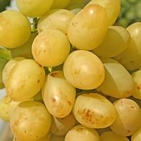 Саженцы винограда 'Аркадия'