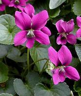 Фиалка сестринская Рубра (Viola sororia Rubra)