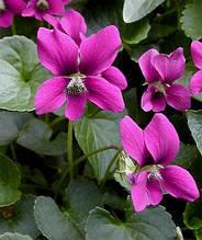 Фіалка сестринська Рубра (Viola sororia Rubra)