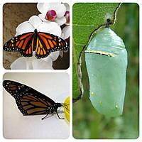 Куколка бабочки Danaus plexippus