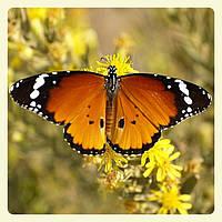 Живая тропическая бабочка Danaus chrysippus.