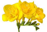 Фрезия желтая