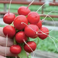 Сора - редис, 500 г семян, Цезарь Полша, фасовка «Фермер Центр»