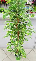 Фикус Бенджамин  дерево гелевый лист