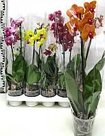Орхидея Фаленопсис ОПТ 150
