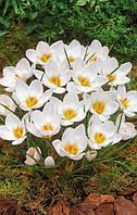 Крокус Ботанический Ard Schenk 150 шт./уп.