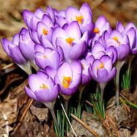 Крокус Ботанический Barr's Purple 150 шт./уп.