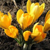 Крокус Крупноцветковый Yellow 100 шт./уп.