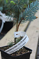 """Ель колючая Хупси (Picea pungens """"Hoopsii"""") , фото 1"""