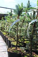 Ель колючая Билобок (Picea pungens Bialobok)