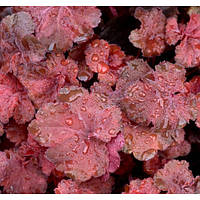 Гейхера - Heuchera hybrida Cherry Cola (горшок 2л)