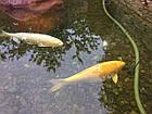 Зарыбление водоема. Разведение декоративной рыбы, фото 9