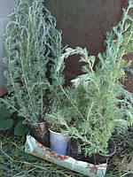 Полынь Шмидта декоративное растение растение