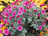 Хризантема Малиновая шарообразная