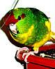 Новозеландский попугай или какарик