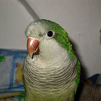 Попугаи Квакеры или Калита - Монах