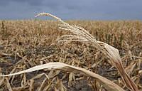 Засуха поставила под угрозу урожай зерновых