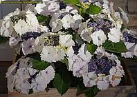 Гортензия крупнолистная Koria новинка 3л, фото 1