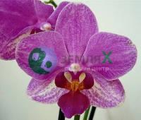 Орхидея Aranca (Ø 12 см, h 70 см)