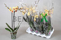 Орхидея Orange Mix (2 ст, Ø 12 см, h 60 см)