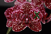 Орхидея Wild Cat (Ø 12 см, h 70 см)