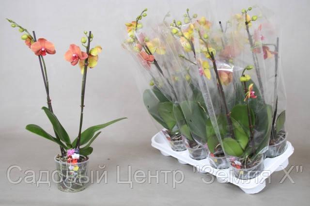 Орхидея Surf Song (2 ст, Ø 12 см, h 70 см)