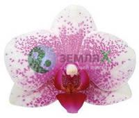 Орхидея Antwerpen (Ø 12 см, h 70 см)