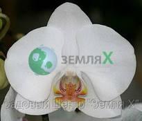 Орхидея Apple Blossom (Ø 12 см, h 70 см)
