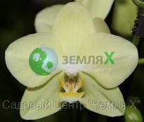 Орхидея Amadeus (Ø 12 см, h 70 см)