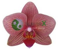 Орхидея Ancona (Ø 12 см, h 70 см)
