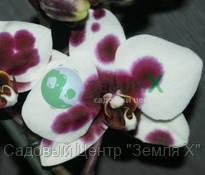 Орхидея Almeria (Ø 12 см, h 70 см)