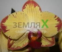 Орхидея Papagayo (Ø 12 см, h 70 см)