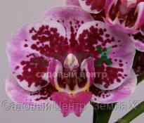 Орхидея Baby Beauty (Ø 12 см, h 70 см)