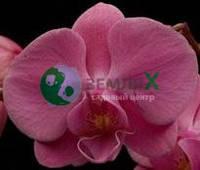 Орхидея Aberdrot (Ø 12 см, h 70 см)