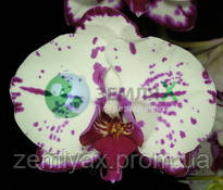 Орхидея Аrakaki Spring Fairy (Ø 12 см, h 70 см)