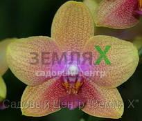 Орхидея Bro Sara Gold (Ø 12 см, h 70 см)